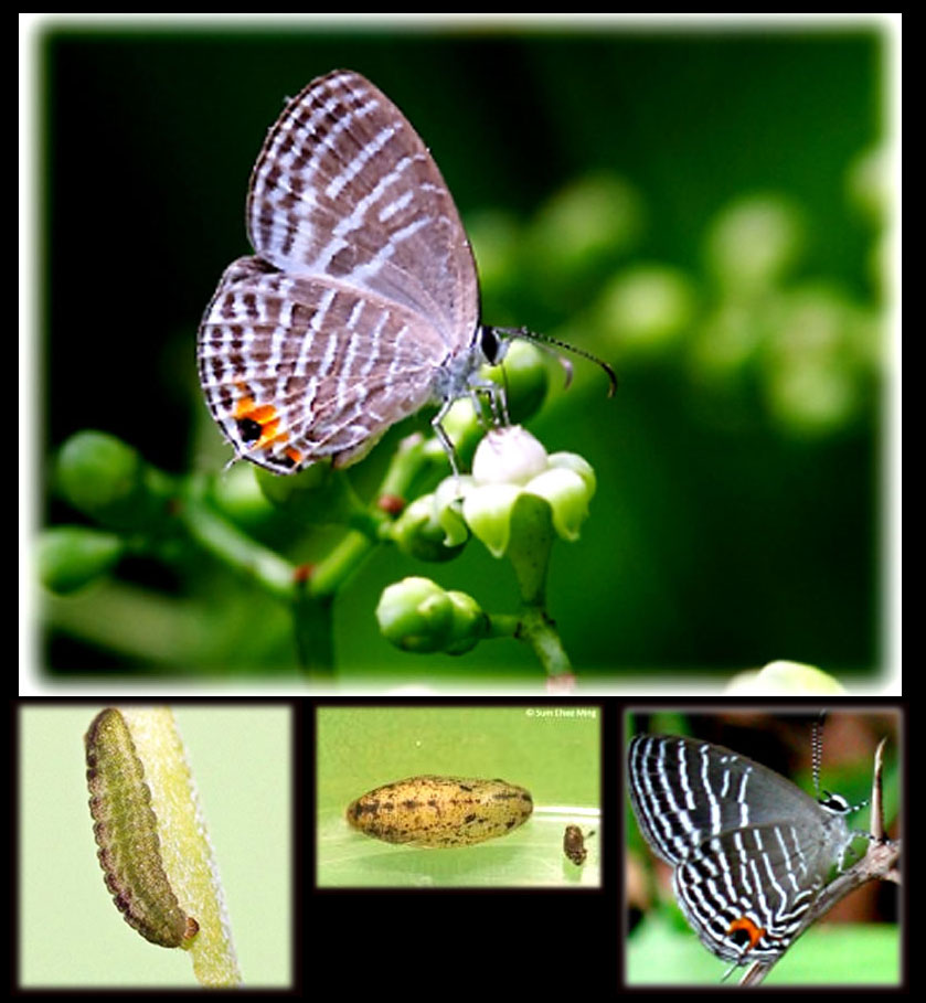 , Bali, Butterflies, vlinders, papillons,  Common Cerulean, Jamides celeno, Lycaenidae