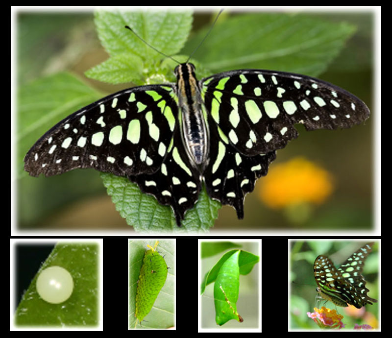 Bali, Butterflies, vlinders, papillons, Tailed Jay, Green Spotted Triangle,  Graphium agamemnon, Papilioninae