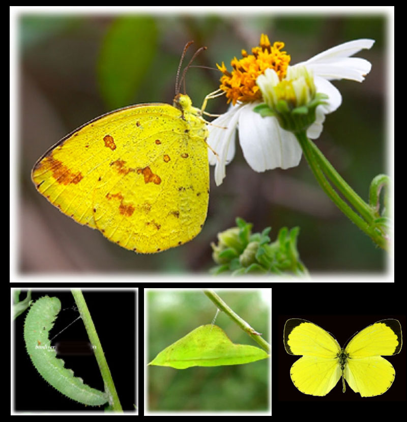 Bali, Butterflies, vlinders, papillons, Common Grass Yellow,  Eurema hecabe, Pieridae