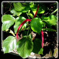 Acalypha hispida, Red cat tales,, Ekor kucing.