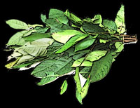Eugenia polyantha, Indonesian Bay-Leaf, Daun salam
