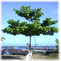 Terminalia catappa, Sea almond, Ketapang